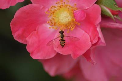 Little Bee Art Print by Heather Green