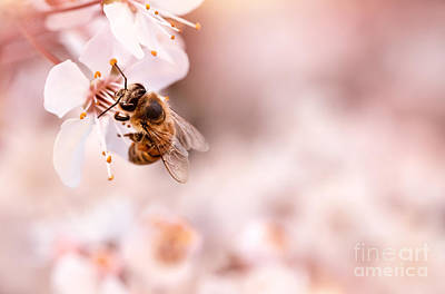 Photograph - Little Bee On Blooming Cherry by Anna Om