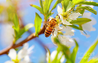 Photograph - Little Bee On Blooming Tree by Anna Om