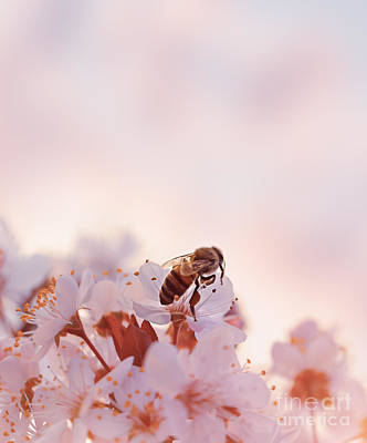 Photograph - Little Bee On The Blooming Cherry by Anna Om