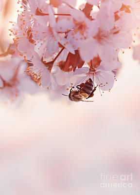 Photograph - Little Bee On The Blooming Cherry Tree by Anna Om
