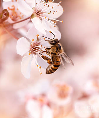Photograph - Little Bee Pollinates Cherry Flowers by Anna Om
