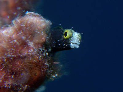 Photograph - Little Blenny by Mauricio Riquelme