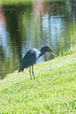Photograph - Little Blue Caught A Meal by William Tasker