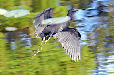 Photograph - Little Blue Flight Reflection by William Tasker