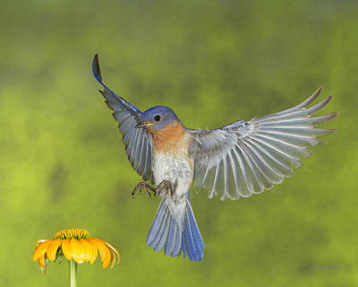 Photograph - Little Blue by Gerry Sibell