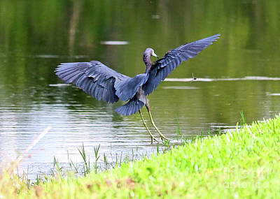 Photograph - Little Blue Heron And Dragonfly by Carol Groenen