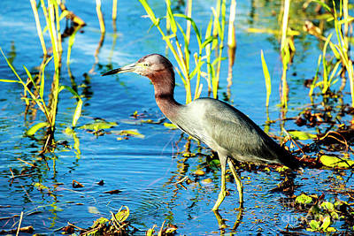 Photograph - Little Blue Heron At Myakka State Park by Ben Graham
