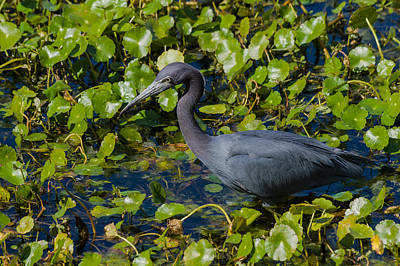 Photograph - Little Blue Heron by Ed Gleichman