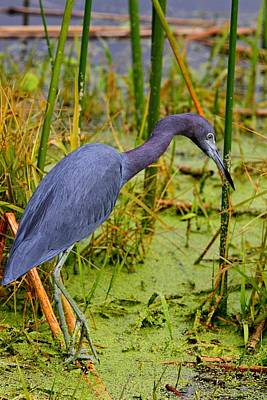 Photograph - Little Blue Heron Feeding by Ira Runyan