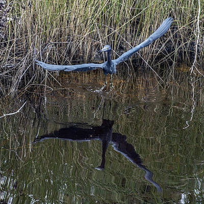 Photograph - Little Blue Heron Flying From Marsh by William Bitman
