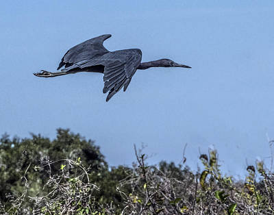 Photograph - Little Blue Heron Flying by William Bitman