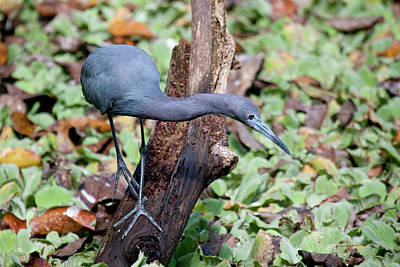 Photograph - Little Blue Heron Foraging by Sandy Swanson