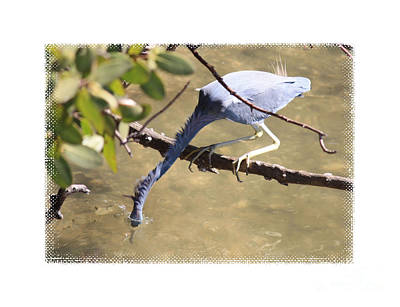 Birds Photograph - Little Blue Heron Going For Fish With Framing by Carol Groenen