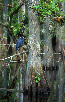 Photograph - Little Blue Heron In Cypress by John Burk