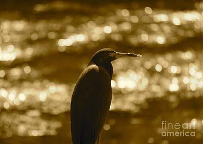 Heron Photograph - Little Blue Heron In Golden Light by Carol Groenen