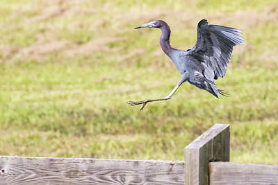 Photograph - Little Blue Heron In Hurdle Race by Phil Stone