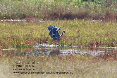Photograph - Little Blue Heron In Red 2 by Captain Debbie Ritter