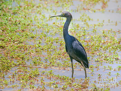 Little Cabin Photograph - Little Blue Heron In Weeds by Robert Frederick