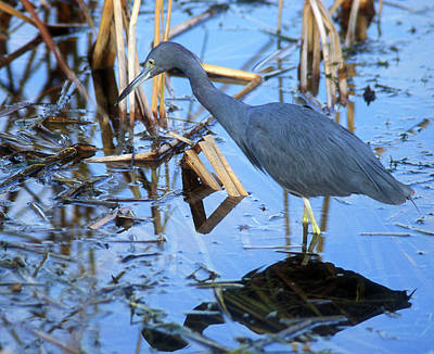 Photograph - Little Blue Heron by John Burk