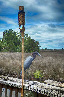 Photograph - Little Blue Heron by Judy Hall-Folde