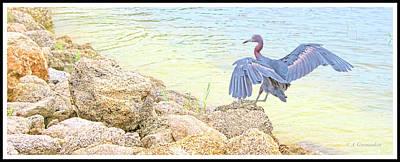 Photograph - Little Blue Heron Lands On Rocky Shore by A Gurmankin