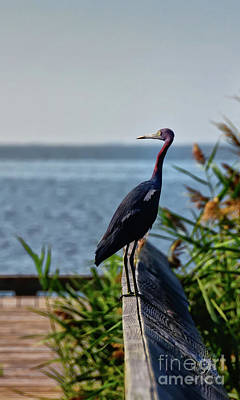 Photograph - Little Blue Heron by Lois Bryan
