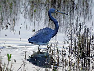 Photograph - Little Blue Heron by Mercedes Martishius