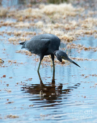 Photograph - Little Blue Heron by Mike Dawson