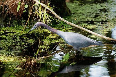 Photograph - Little Blue Heron by Nicholas Blackwell