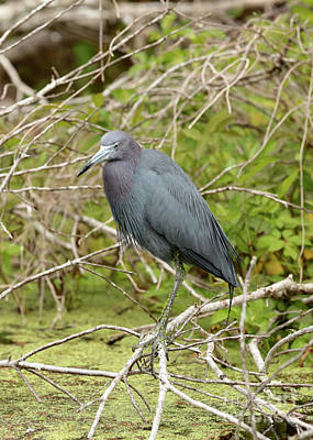 Photograph - Little Blue Heron Over The Marsh by Carol Groenen