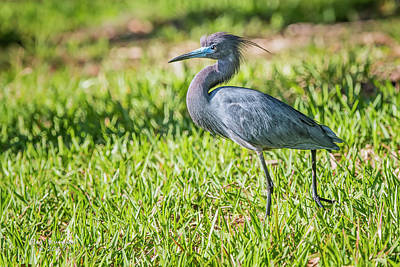 Photograph - Little Blue Heron by Peg Runyan