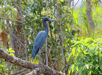 Photograph - Little Blue Heron by Sally Weigand