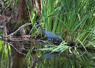 Print featuring the photograph Little Blue Heron by Sandy Keeton