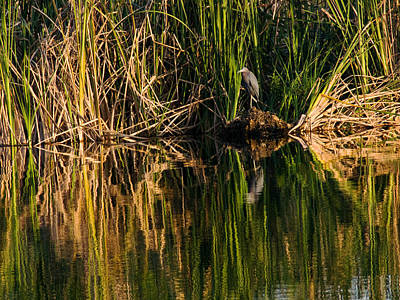 Photograph - Little Blue Heron by Steven Sparks