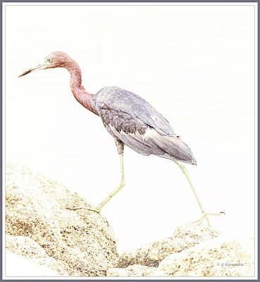 Digital Art - Little Blue Heron Strides Along Rocky Shore by A Gurmankin