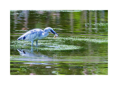 Photograph - Little Blue Heron Up North by Edward Peterson