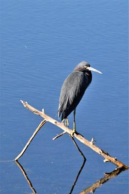 Photograph - Little Blue Heron by Warren Thompson