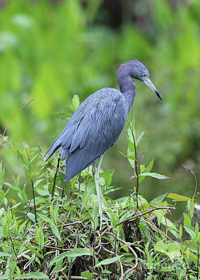 Photograph - Little Blue Heron With Green Foliage by Carol Groenen