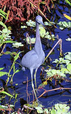 Little Blue Heron Photograph - Little Blue Portrait   by Jennifer Robin