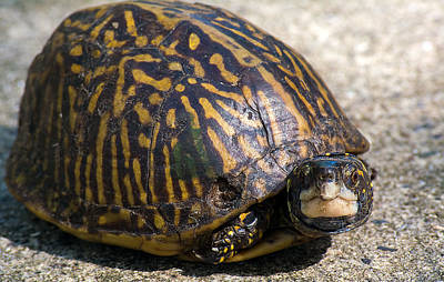 Photograph - Little Box Turtle by Kenneth Albin