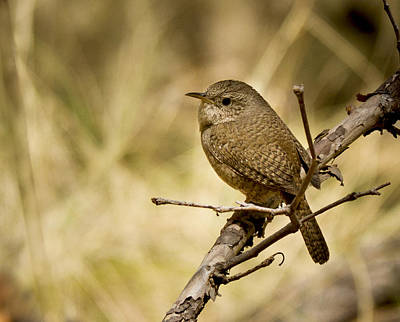 Madera Canyon Photograph - Little Brown Bird by Jean Noren