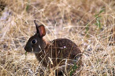 Photograph - Little Brown Bunny by Nick Gustafson