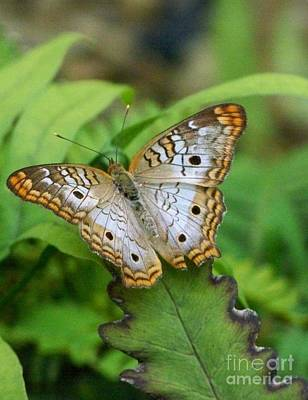 Photograph - Little Brown Butterfly by Jean Fry