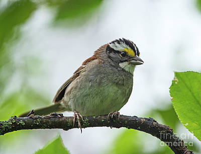 White-throated Sparrow Photograph - Little Brown Job.. by Nina Stavlund