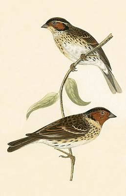Bunting Painting - Little Bunting by English School