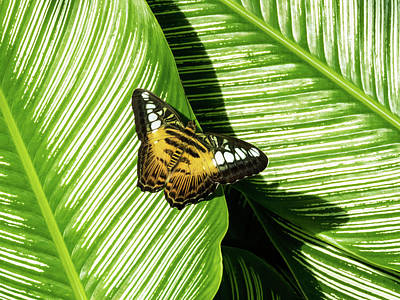 Photograph - Little Butterfly On Big Green Leaves by Bob Slitzan