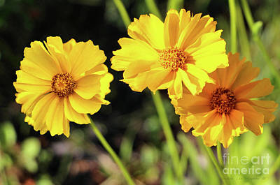 Photograph - Little Buttons Of Sunshine by Sandra Huston
