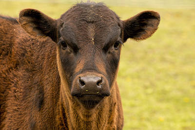 Photograph - Little Calf by Kristia Adams
