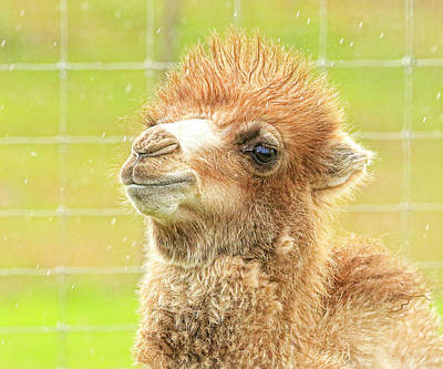 Photograph - Little Camel by Steve McKinzie